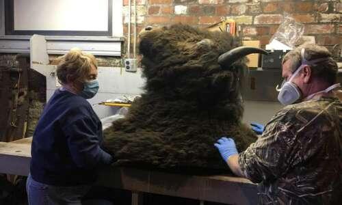 Bison head taken down at Carnegie museum